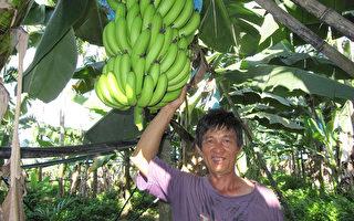 回歸自然生態平衡 有機香蕉Q軟香甜