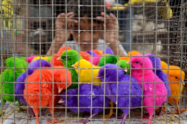 2015年6月3日,印度阿姆利则,一名印度男孩看着每只售价10卢比(15美分)的彩色小鸡,卖小鸡的商贩每天收入约200-300印度卢比(4.5美元)。(NARINDER NANU/AFP)