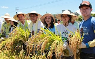 屏东国际彩稻田 稻穗成熟欢喜收割
