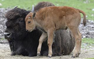 麋鹿岛野牛迁移俄罗斯
