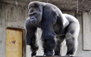 大猩猩外形帅气 日动物园女访客增