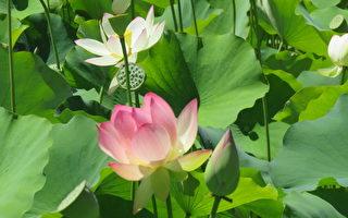回声公园湖畔莲花仙子开满园