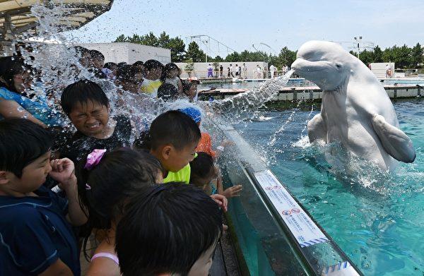 2015年7月20日,东京郊区横滨的八景岛海洋乐园,水族馆的白鲸对着游客喷水,当天东京的气温超过34摄氏度。(TOSHIFUMI KITAMURA/AFP/Getty Images)