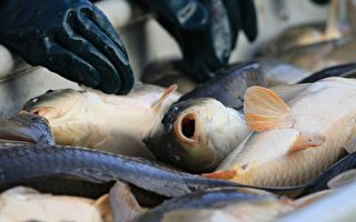 悉尼帕拉碼塔河鯉魚過多 擬行釣魚有獎活動