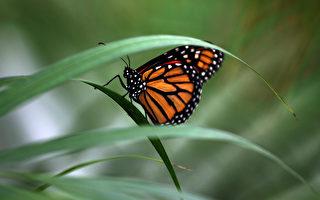 研究:全球暖化 英国蝴蝶濒绝