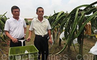 用心栽培火龍果  不怕颱風來襲