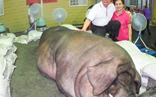 中元神猪比赛 1612斤创新纪录
