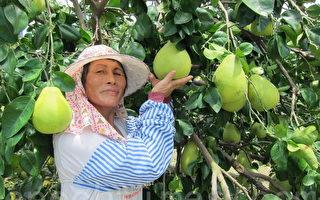 李家明珠果園女主人陳麗珠與挺過蘇迪勒風災的文旦樹。(孫幗英/大紀元)