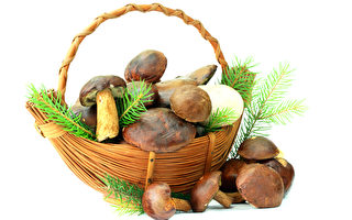 蘑菇長勢好 挪威拾菇人猛增