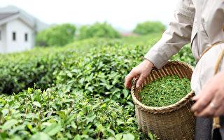 印度血汗茶园 供应英国高档茶