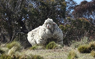 澳洲这只硕大长毛羊 剪毛剪掉42公斤
