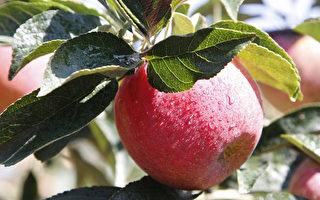 常青農場豐收季 摘果踏青正當時