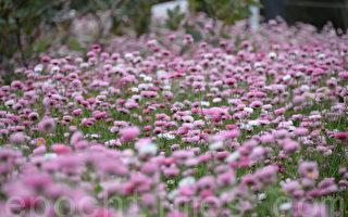 西澳野花季來臨 更多年輕人觀花
