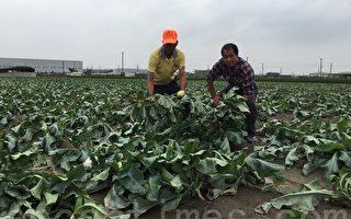 復耕蔬果遭損  預估菜價大漲