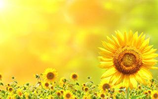新诗:向日葵