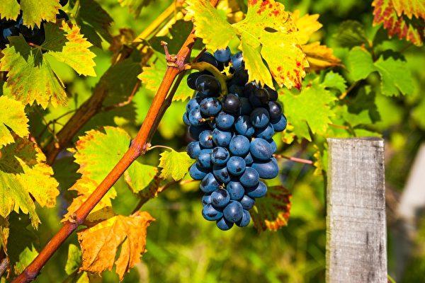 葡萄園一束束紅色的葡萄(fotolia)