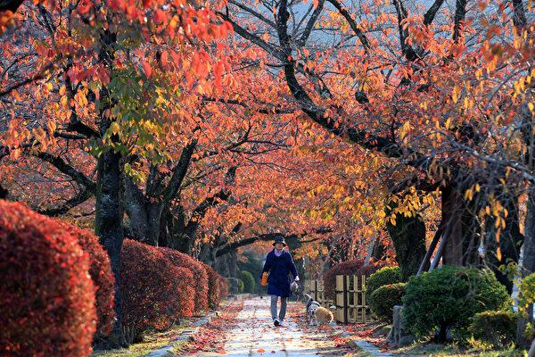 2014年11月22日,日本京都红枫争红夺艳美景。(Buddhika Weerasinghe/Getty Images)