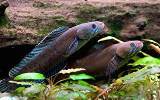 喷嚏猴和走路鱼 喜马拉雅山物种很新奇