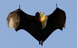 避免感染 澳洲卫生当局警告勿救受伤蝙蝠