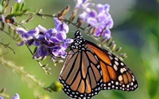 一年一度壮观帝王蝶大迁徙 成因迄今仍是谜