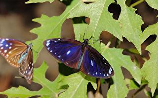 紫斑蝶大迁徙  台湾茂林幽谷才看得到