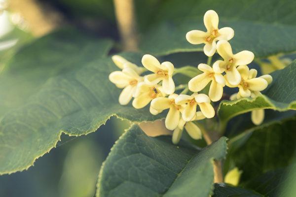 桂花香氣濃郁,具有健胃化痰、生津的功效。(Shutterstock)