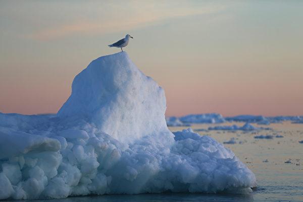 海鷗站在格陵蘭島伊盧利薩特冰山上。(Joe Raedle/Getty Images)