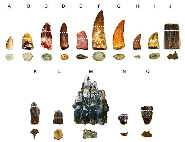 暴龙咬合力达6千公斤重,研究团队发现,恐龙牙齿珐琅质与象牙质间有冠牙本质层,相当于避震器可保护牙齿,避免瞬间断裂,图为各类恐龙与鳄鱼牙齿化石切片。(国家同步辐射研究中心提供)