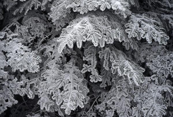 2015年11月22日,在法国东南部的派拉特山区勒贝萨第一场雪后,枞树的树枝被积雪覆盖。勒贝萨是法国卢瓦尔省的一个市镇,属于圣艾蒂安区圣热内斯马利福县。(PHILIPPE DESMAZES/ AFP)
