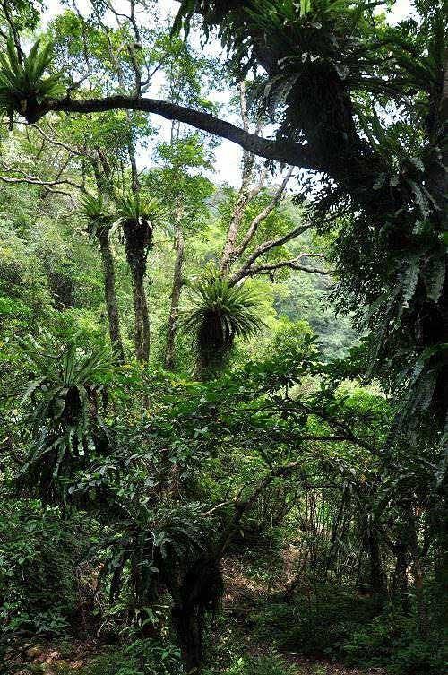 接近山麓溪谷,頗多鳥巢蕨高高掛樹上。 (圖片提供:tony)