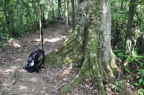 大板根樹。中型背包與板根合影,也顯得小巧玲瓏。 (圖片提供:tony)