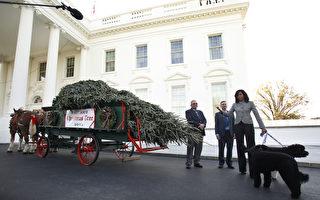 聖誕季節到了! 米歇爾迎接白宮聖誕樹