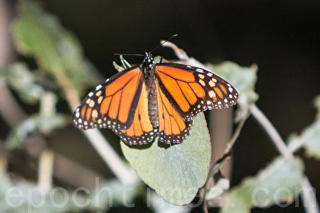 帝王蝶经过长途跋涉到北加州的菲利蒙的一处桉树林过冬。(曹景哲/大纪元)