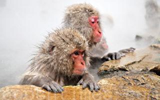"""猴子组队雪地表演""""高空踩钢线""""成网红"""
