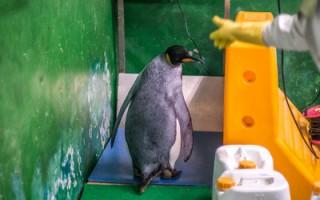 国王企鹅量体重  个性大不同