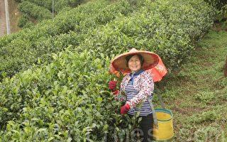 全台唯一紅茶專區  拚有機產銷履歷雙認證