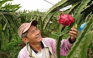 神農獎得主再出招  粉紅火龍果精品價搶市