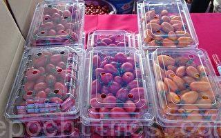 路竹番茄节 欢欢喜喜采果趣
