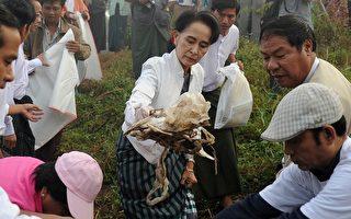 让缅甸变干净 昂山素季带头捡垃圾