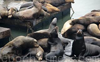 """加州海藻毒素导致海狮患上""""痴呆症"""""""