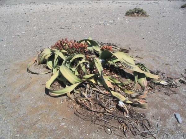 葉子壽命可長達二千歲的百歲蘭,一生兩片葉子碎裂成許多條狀物,讓人無法看出它們的模樣。(維基百科)