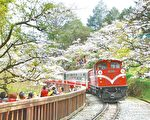 """中华民国迈入千万观光大国,国际媒体频频""""按赞"""",图为阿里山火车经过樱花纷飞的景致。(阿里山国家风景区管理处提供)"""