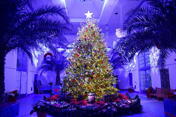 美国国家植物园西展厅矗立的巨型圣诞树是特区最大装饰树之一。(美国国家植物园提供)