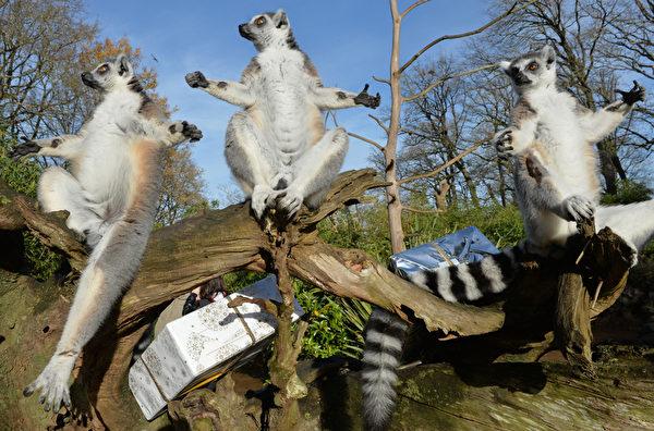 2015年12月23日,法国西北部拉弗莱什动物园,一群狐猴准备打开他们装满食物的圣诞礼物时,注意力突然被吸引做出同一反应的逗趣瞬间。(JEAN-FRANCOIS MONIER/AFP)