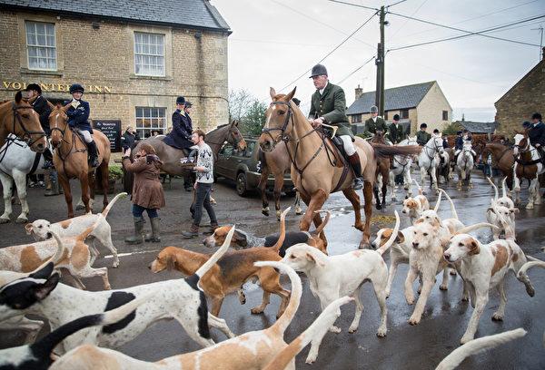 """2015年12月24日,英格兰威尔特郡大萨默福,猎犬和狩猎者离开酒店准备出发狩猎。在英国,圣诞节后的第1个工作日称为""""节礼日""""(Boxing Day),这一天按传统是老板向雇员赠送圣诞礼物的日子,也是英国人外出猎狐的日子。 (Matt Cardy/Getty Images)"""