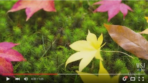 苔藓植物近景。(视频撷图)