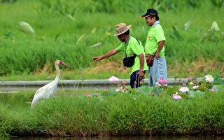濒危保育鸟类西伯利亚白鹤再度引关注,启发农民对环 境的省思、响应友善的耕作,是台湾保育的指标,也让 人思考栖地与物种的关系。(陈聪隆提供/中央社)