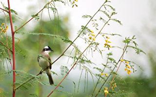 台灣古典詩:白頭翁