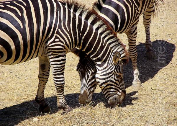 斑馬為群居動物。(攝影:王嘉益/大紀元)