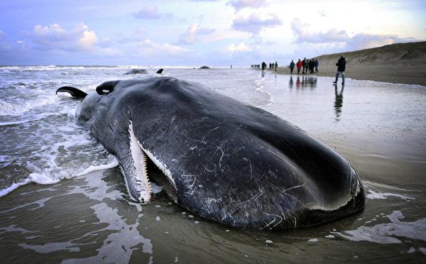 2016年1月13日,荷兰特塞尔岛出现了五头抹香鲸搁浅后死亡。专家们正在解剖企图找出抹香鲸搁浅的原因。(AFP)